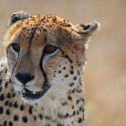 Zuid Afrika Cheeta