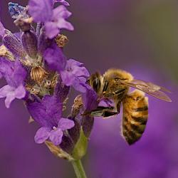 Purple Beeee