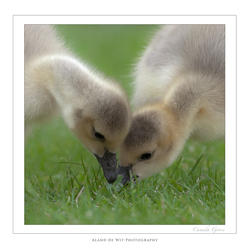 Canada Goose youngsters