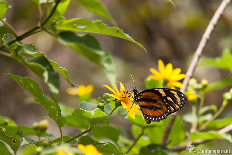 Butterfly - Vlinder in Costa Rica.