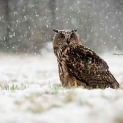 Europese Oehoe in de sneeuw