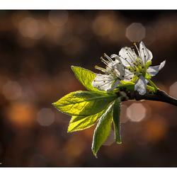 Blossom in Backlight....