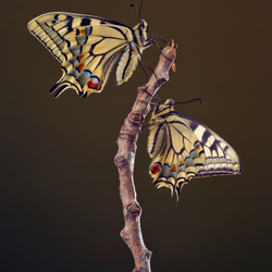 Koninginnenpage, papilio machaon