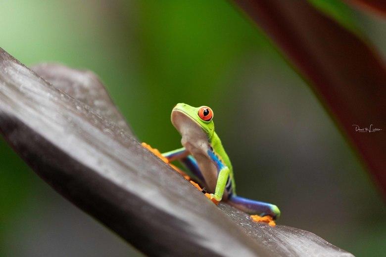 Kikker - Gemaakt tijdens onze vakantie in Costa Rica.
