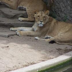 Artis - het leeuwenverblijf