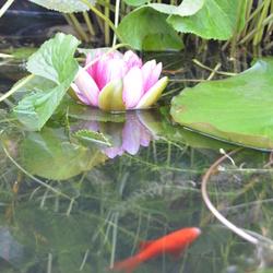 Waterlelie in onze eigen vijver