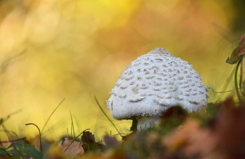 Herfststukje - Een verse parasolzwam.. <br /> .. bij de paddenstoel wat takken/takjes weggehaald, verder alles laten liggen, staan en hangen.