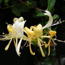 Kamperfoelie in bloei-Foto Dick A.Otten-DAO Fotoarchief-