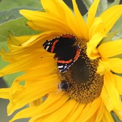 Zonnebloem met vlinder en hommel