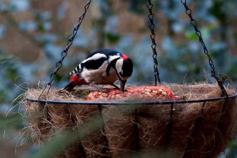 grote bonte specht - Voorlopig de laatste upload van deze mooie maar o zo schuwe vogel. Hij heeft zich al een tijdje niet meer laten zien...