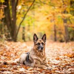 gouden hondje