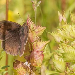 Vlinder Koevinkje (?)