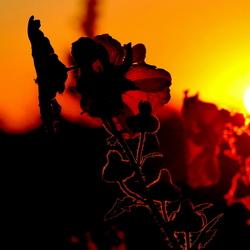 Stokroos in tegenlicht van ondergaande zon