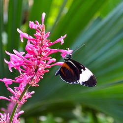 vlinder roze bloem