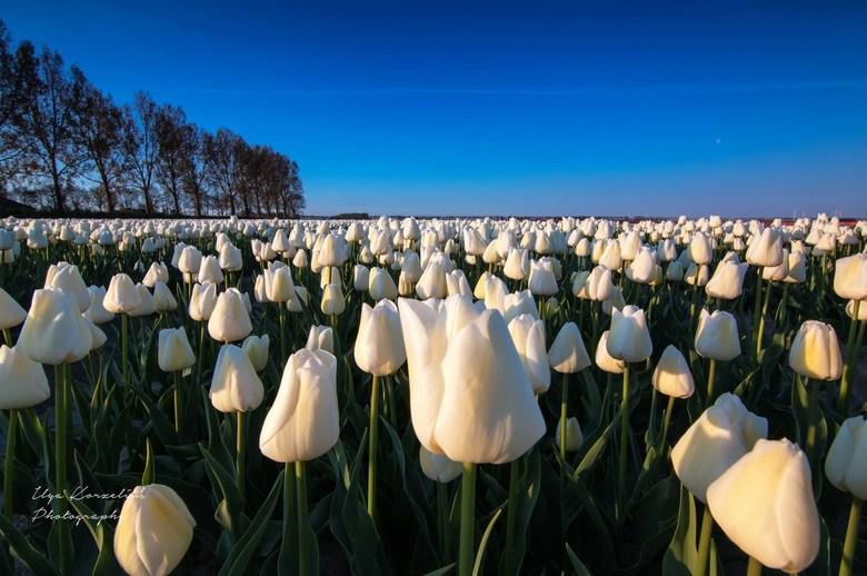 White tulips at sunrise. - Witte tulpen bij zonsopkomst bij Oude Tonge.
