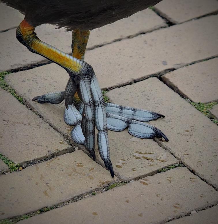 op grote voet leven - Deze stak vlak voor mijn rollator over en dus alleen zijn voeten gefotografeerd Een van de vast bewoners in Artis