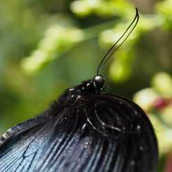 Butterfly - Malaysia