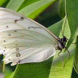 amazonica vlinder wit