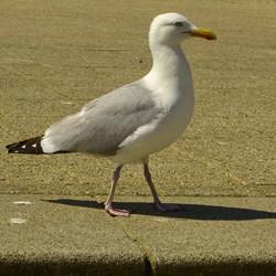 Vogel serie 213. Meeuw.