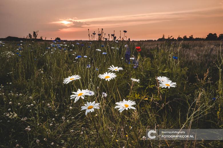 Mooie voorjaarsavond - In combinatie met een losse flitser deze veldbloemen uitgelicht. In de nabewerking wat aangezet met deze foto als resultaat.
