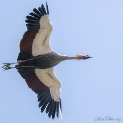 Kroon kraanvogel