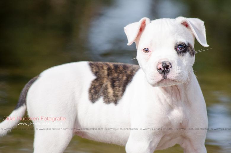 Amerikaanse Bulldog puppy Dunya -