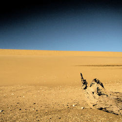 Stronk in Somalische duinen