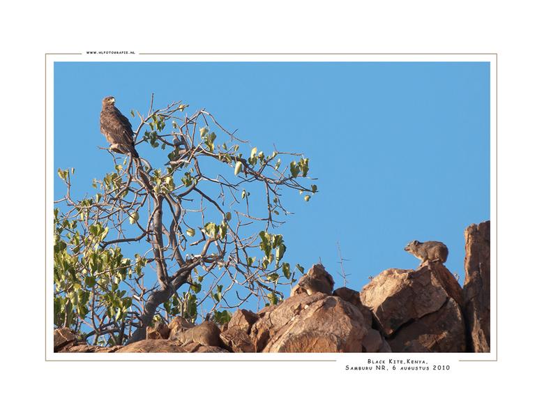 Black Kite, Kenia - VOORAL EVEN IK HET GROOT BEKIJKEN. Deze foto die ik gemaakt heb van de Zwarte Wouw bleek bij nadere bestudering nog meer dieren te