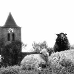 Het zwarte schaap waakt over zijn kudde