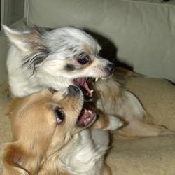 Chihuahua's Vicky & Lisa stoeien. Kaketoe Maxi kijkt toe.