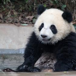 Panda in bad!