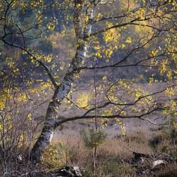 Light on birch