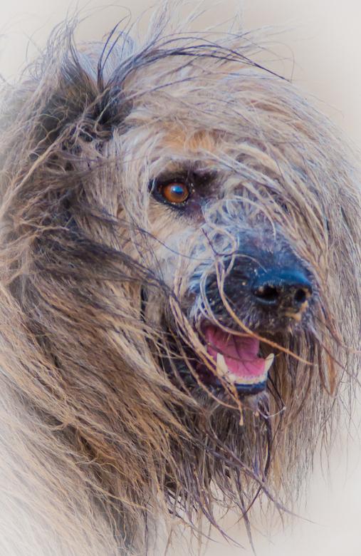 Leeuw hond -
