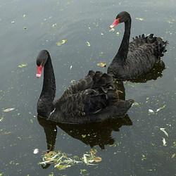 Vogel serie 168. zwarte zwanen.