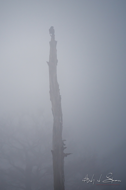 Zwarte Kraai in de mist -