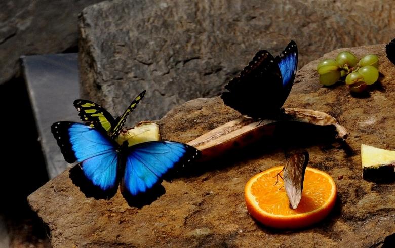 Artis vlindertuin - Deze is niet scherp genoeg, maar de blauwe binnenkant heb ik te pakken.