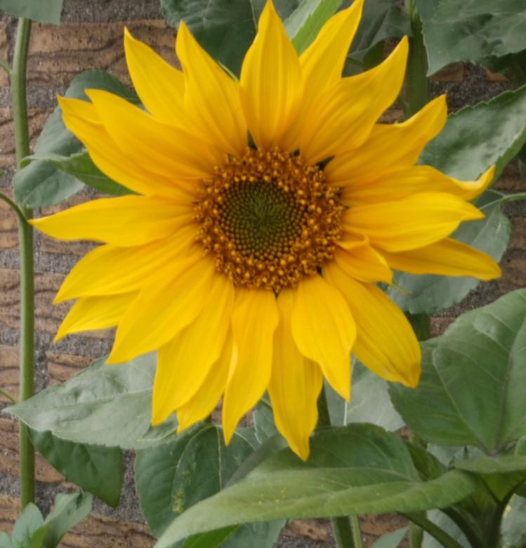 zonnebloem 1 - Deze foto heb ik in eigen tuin gemaakt