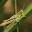 Grasshopper.....