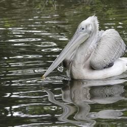 jong pelikaantje