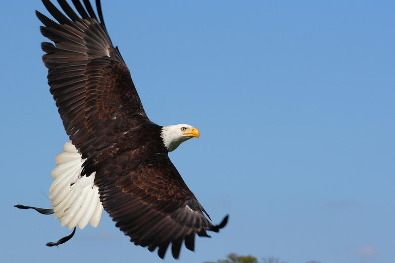 Bald Eagle 1.JPG - Bald Eagle in volle vlucht tijdens Roofvogeldemonstratie in Het Aardhuis in Apeldoorn. Demonstratie verzorgd door De Valkenhof in A