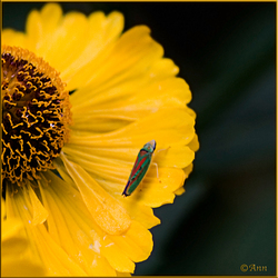 Rododendromcicade..