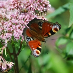 wat is een insect toch klein, of is die vlinder nou zo groot?