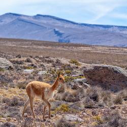 Vicuña op de hoogvlakte van Andes
