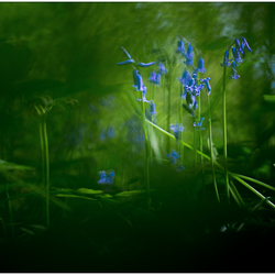Bluebell Fairytale