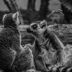 Monkey Talks