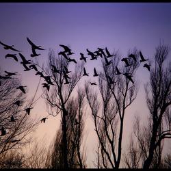 een vlucht ganzen..