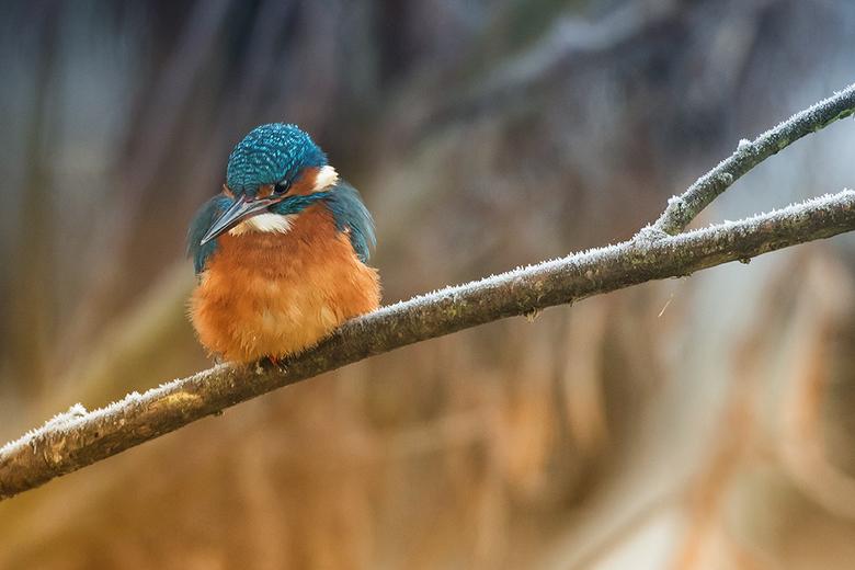 IJsvogel in winterse setting! - Dit Ijsvogeltje was op zoek naar vis, op een prachtige koude dag in december.<br /> <br /> Iedereen bedankt voor de