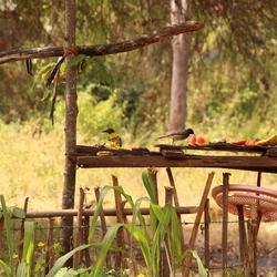 vogels fruit eten