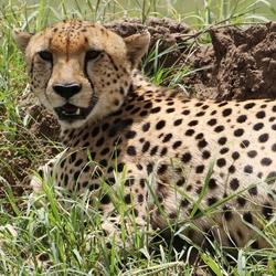 Cheetah mannetje in de zon