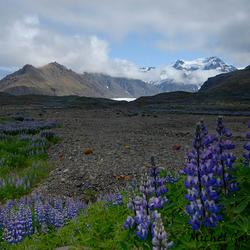IJslandse Lupine